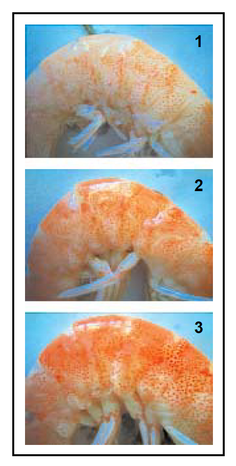 Article image for Enteromorpha tested as shrimp feed ingredient