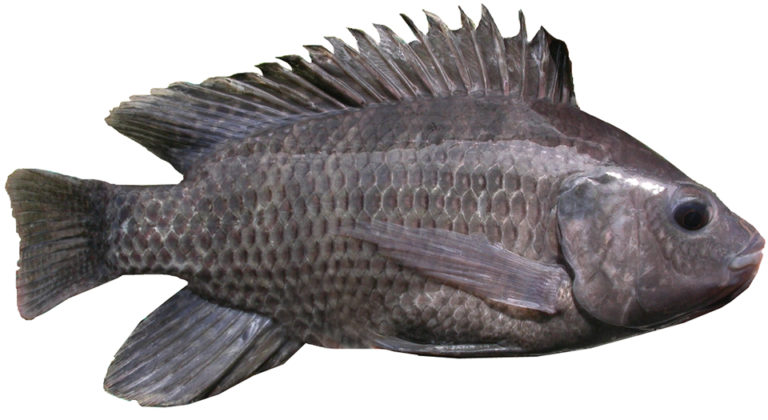 Article image for Vitamin E levels in tilapia diets affect fillet quality