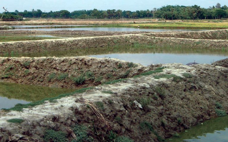 Article image for Growing pangus industry faces constraints in Bangladesh