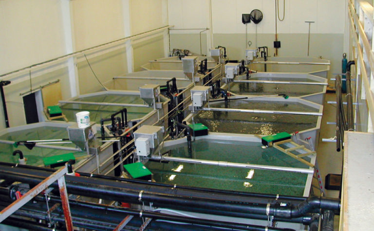 Article image for Clay particles an alternative water treatment in marine fish larvae tanks