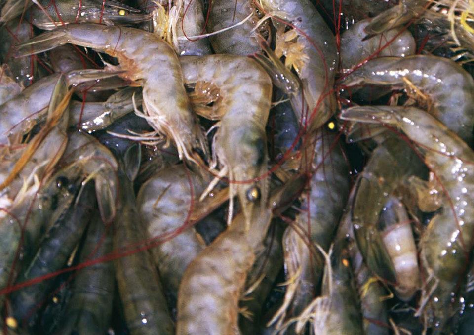 Pacific white shrimp