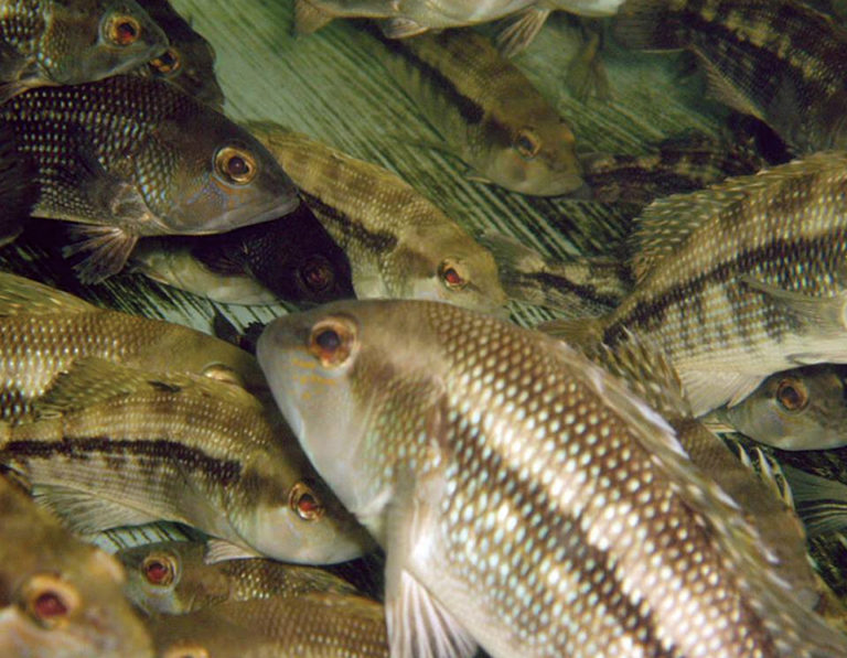 Article image for UNC-Wilmington conducts research on black sea bass