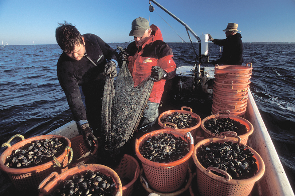 Article image for Research, extension efforts support hard clam industry in Florida