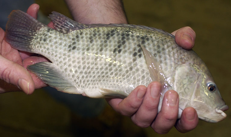 Article image for Bacterial, chemical residues impact tilapia quality