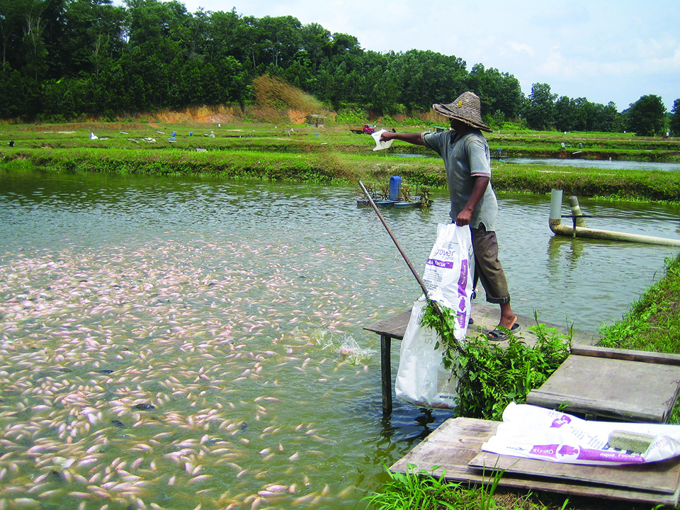 Article image for GIFT tilapia show greater FCR, growth potential than red tilapia