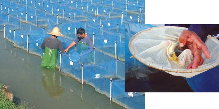 Article image for GIFT tilapia: Technology for successful selected strain continues