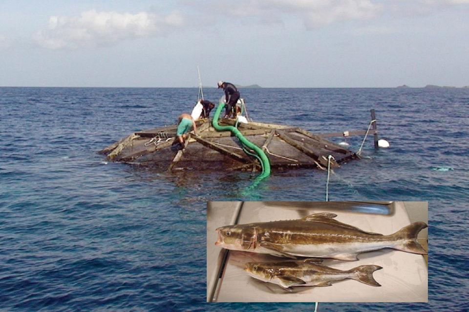 Cobia aquaculture