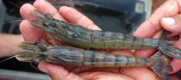 Article image for DNA fingerprinting: System for black tiger shrimp