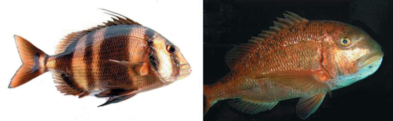 Article image for Perspectives for red-banded sea bream culture