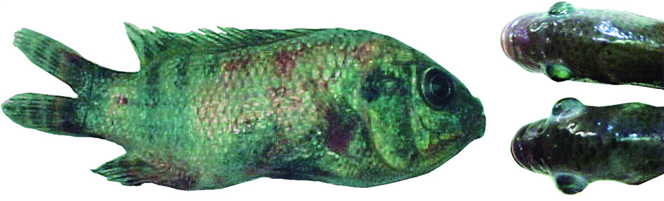 Article image for Bath immersion, booster vaccination strategy holds potential for protecting juvenile tilapia