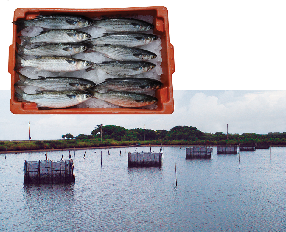 Article image for Marine fish culture in Brazil