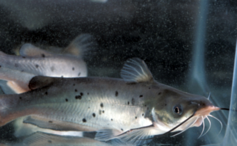 Article image for CART regulates food intake in channel catfish