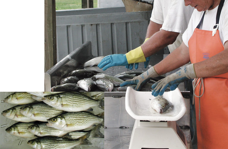 Article image for Pre-harvest conditions, handling affect sensory quality of freshwater fish