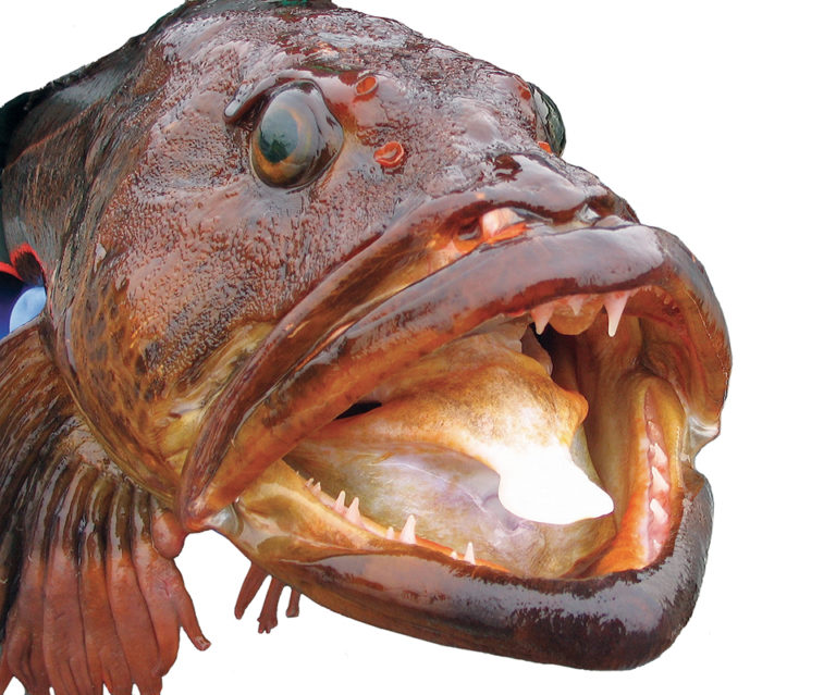 Article image for Lingcod stock enhancement under study as management tool in U.S. Pacific Northwest