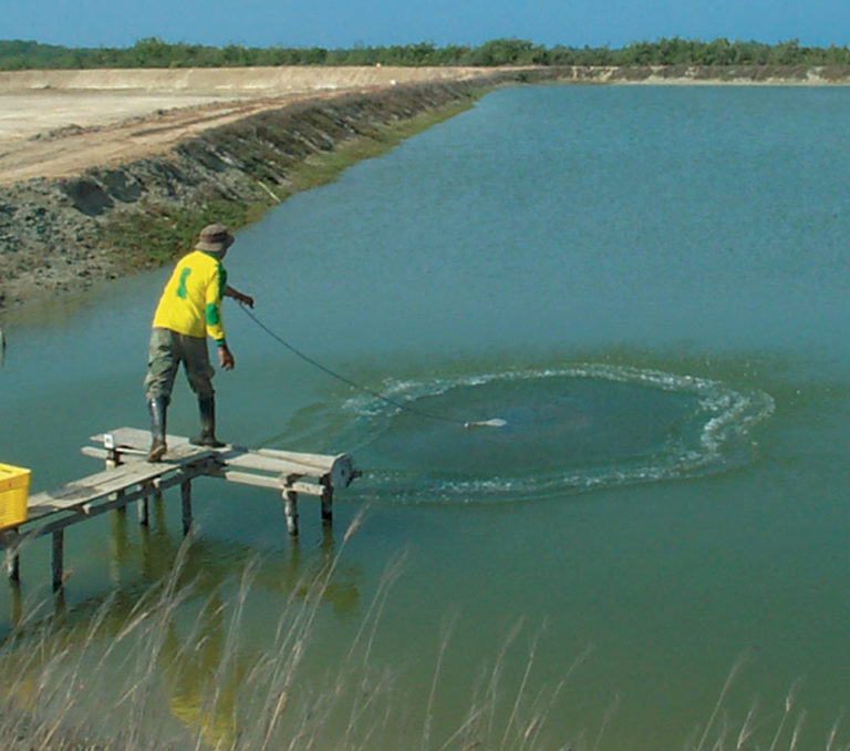Article image for Fishmeal replacement in diets effective at shrimp farm trials