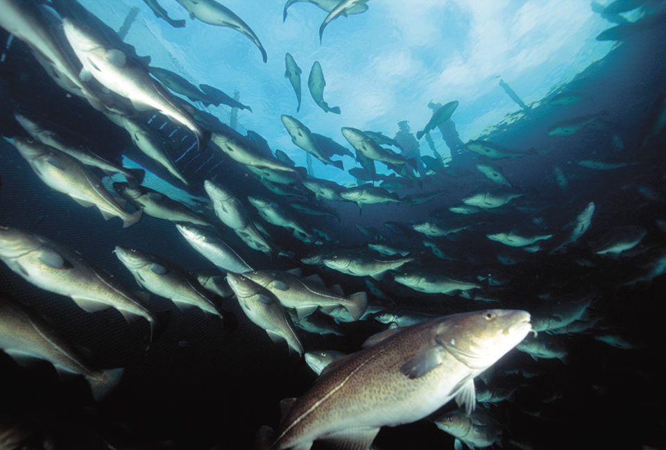 Groundfish aquaculture
