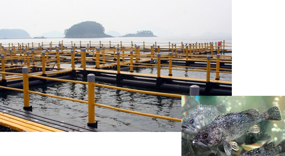 Article image for Korean rockfish production
