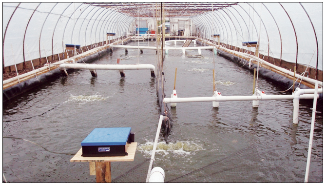 Article image for Greenhouse-enclosed superintensive shrimp production