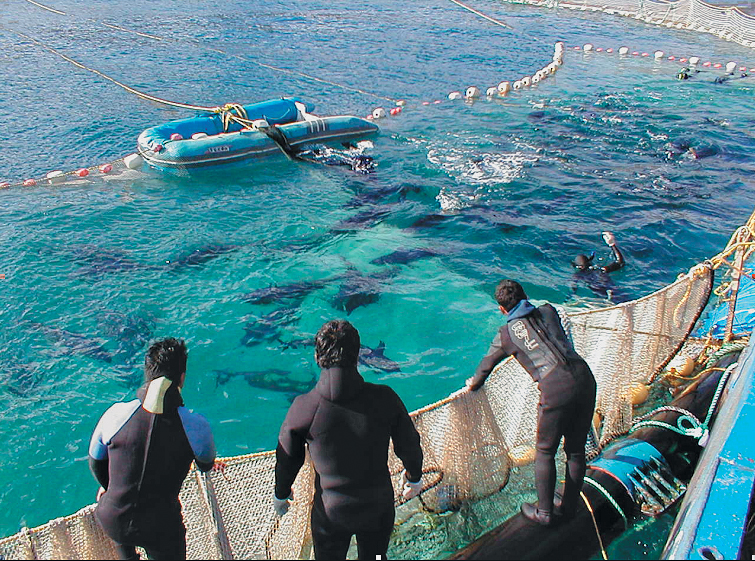 Article image for Tuna aquaculture faces challenges in continued growth
