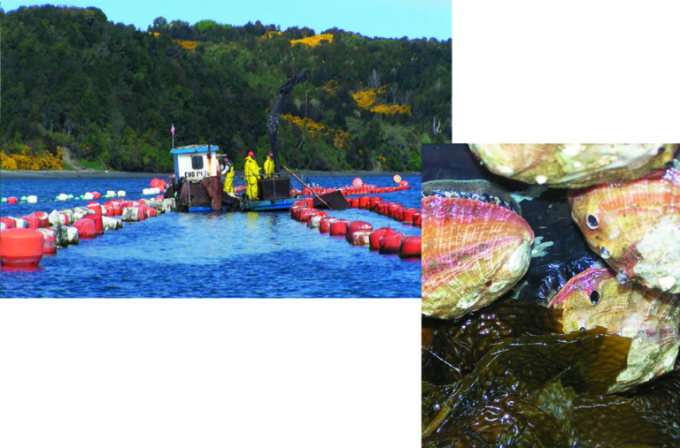 Article image for Mussels, scallops lead Chile's mollusk industry
