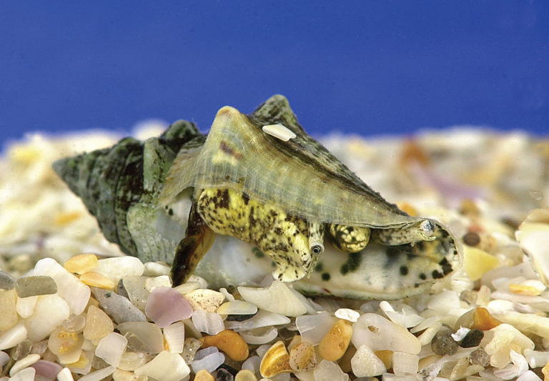 Article image for Artificial diets for juvenile queen conch