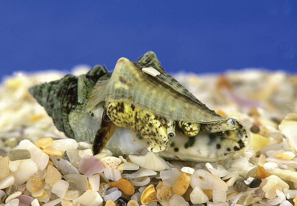 queen conch
