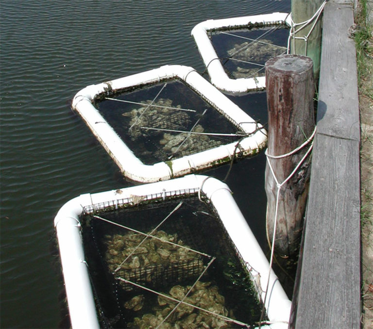 Article image for Restoration program in Inland Bays improves ecosystems as oyster populations recover