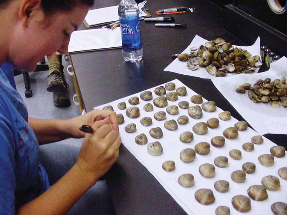 Article image for Triploid hard clams evaluated for Florida aquaculture
