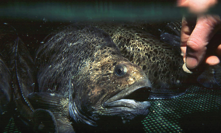 Article image for Spotted wolffish culture