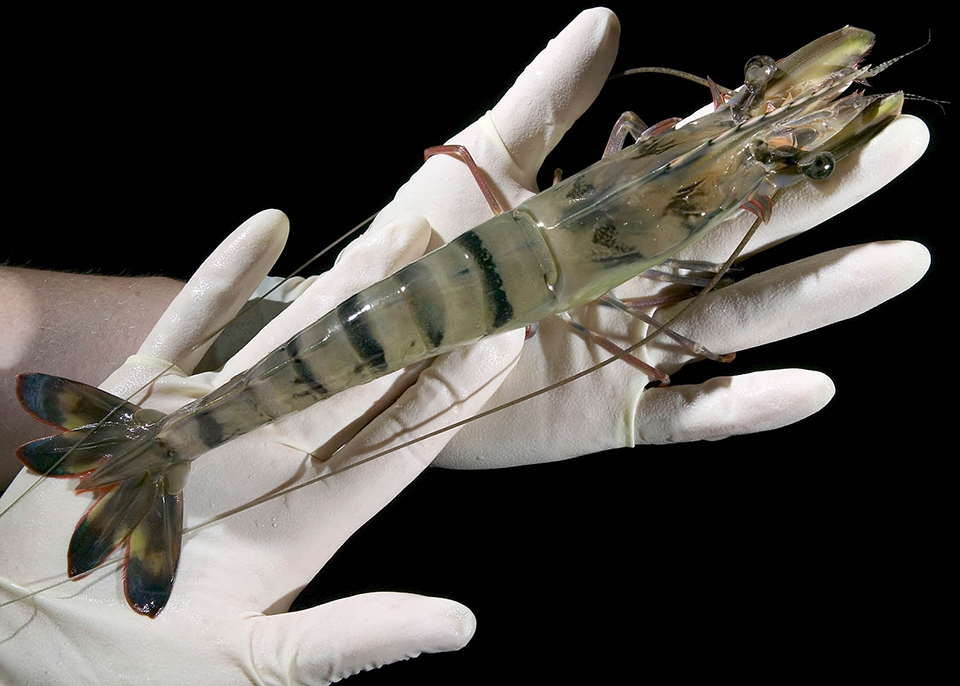 Article image for Challenges to commercializing shrimp triploidy