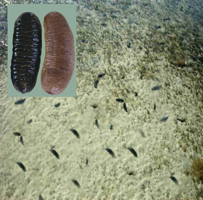 Article image for Tropical sea cucumber culture