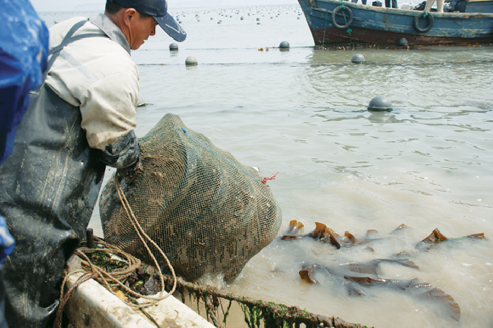 Article image for Sea cucumbers enhance IMTA system with abalone, kelp in China