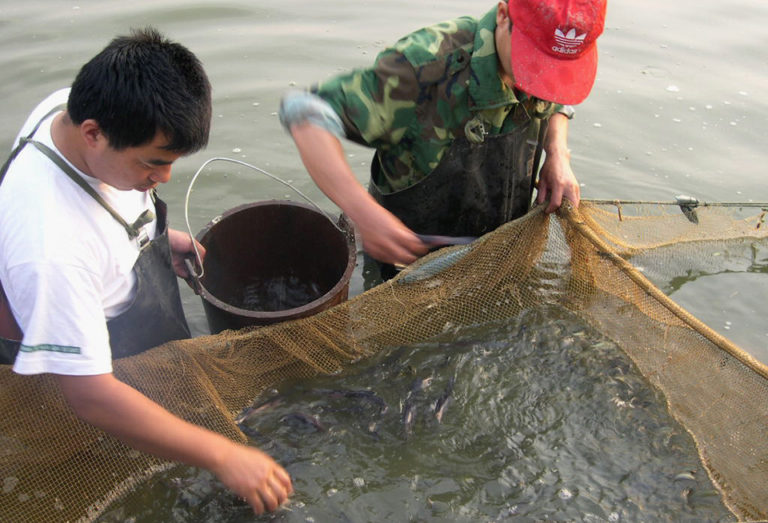 Article image for China's limited paddlefish culture focused on meat production