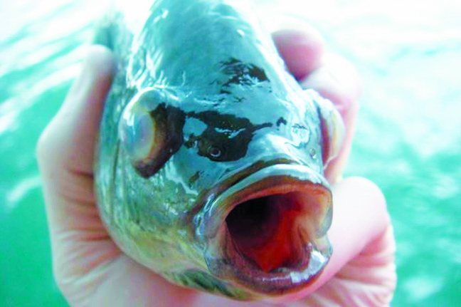 Article image for Streptococcosis in tilapia