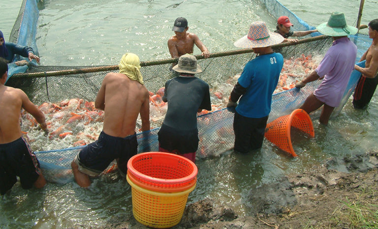 Article image for Tilapia production in Asia