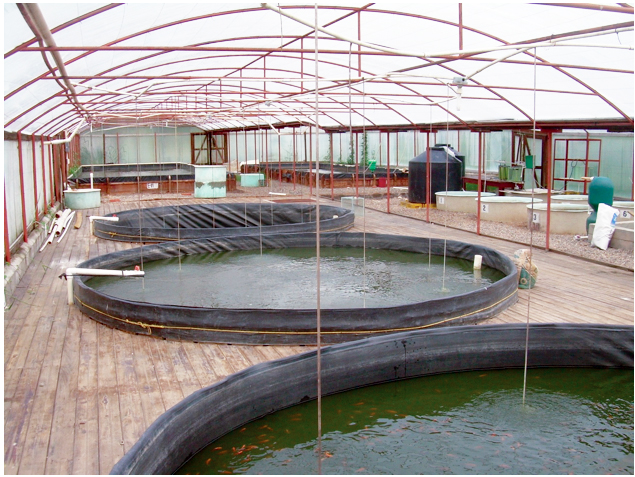 Article image for Greenhouse covers, intensive management enhance tilapia fingerling production