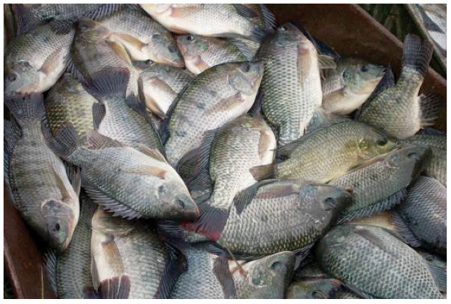 Article image for Innovative feed additives improve feed utilization in Nile tilapia