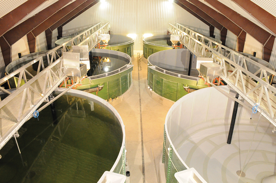Article image for New Norwegian RAS farm produces salmon smolts