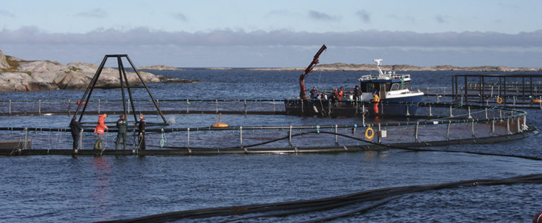 Article image for Delousing salmon in large net pens