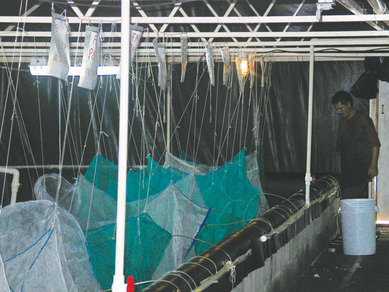 Article image for Testing may help increase IHHNV tolerance in Pacific white shrimp