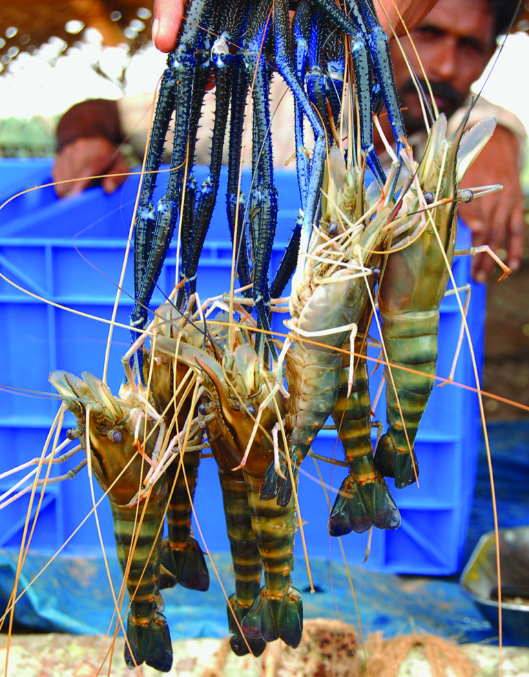 Article image for Organic prawn farming comes to India's rice fields