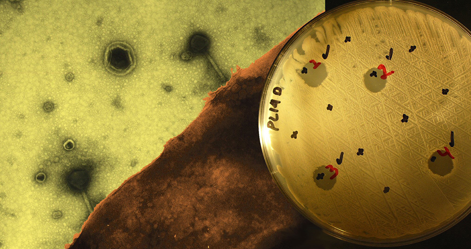 Article image for Phage therapy provides targeted bacteria treatment