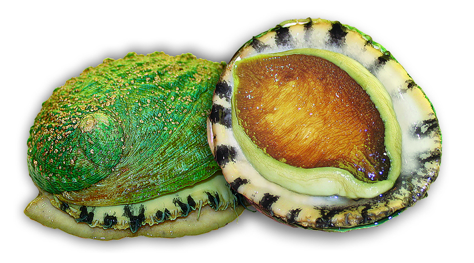 Article image for Selective breeding advances hybrid abalone