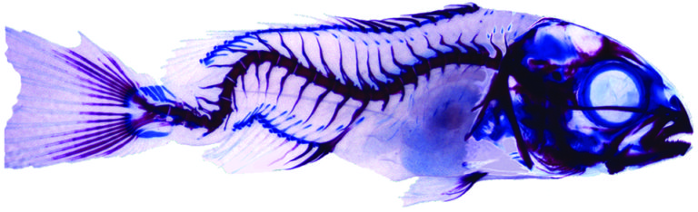 Article image for Protein hydrolysates in larval fish nutrition