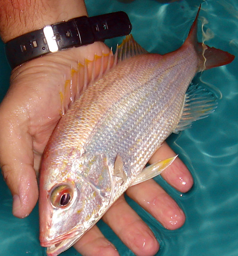 Article image for Mutton snappers grow well on plant-based diets