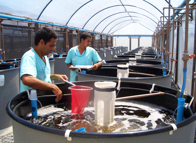 Article image for Tank effects impact selection responses in shrimp breeding