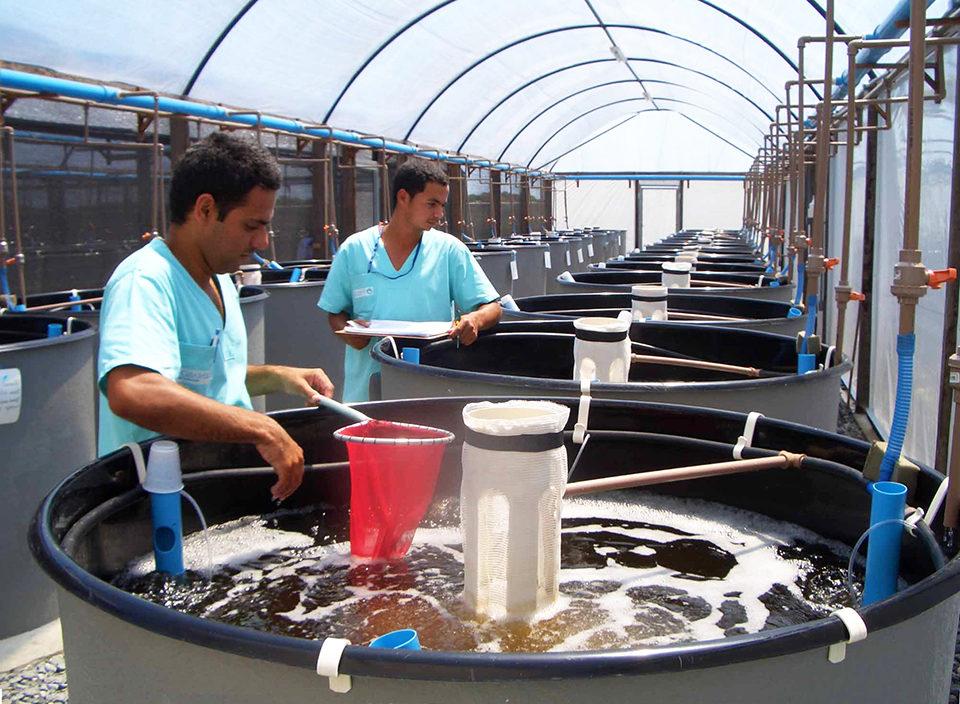 shrimp breeding