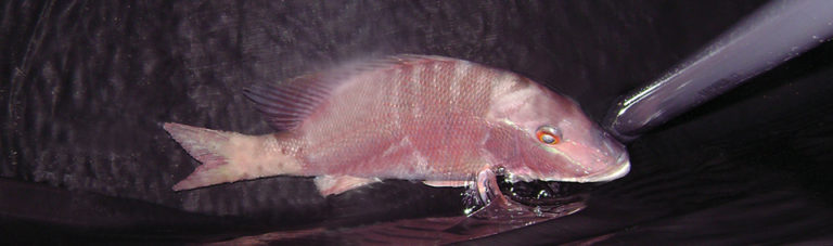Article image for Experimental spawning, larval rearing of lane snapper test diets