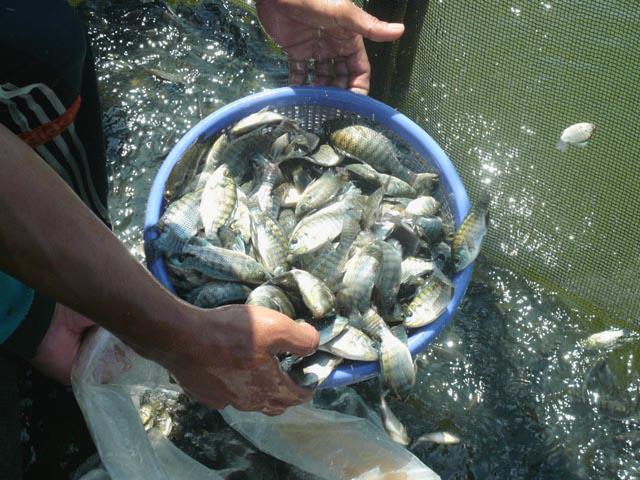 Article image for GESIT tilapia: Indonesia's genetic supermales