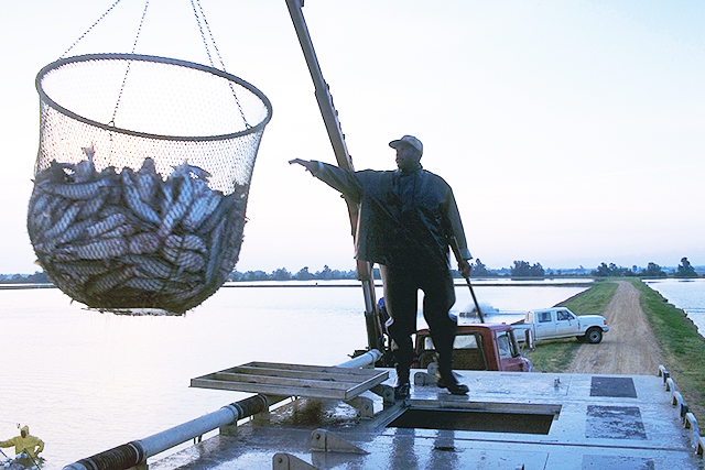 Article image for Fish vaccines in aquaculture